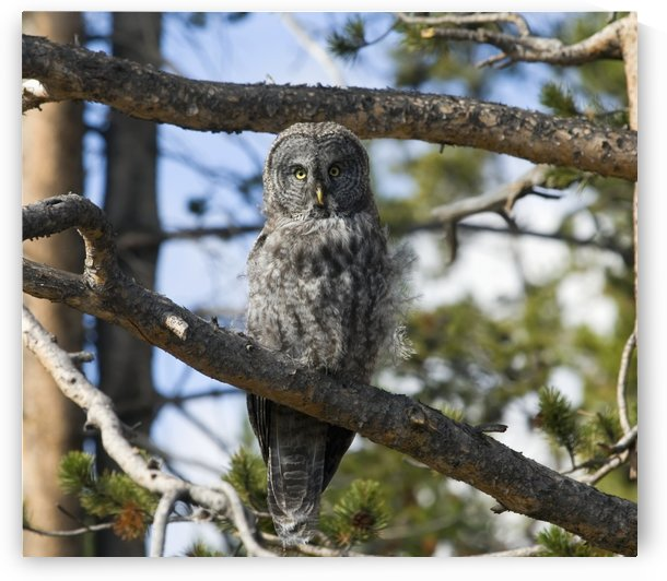 Great Grey Owl (Strix nebulosa) in Yellowstone National Park; United States of America by PacificStock