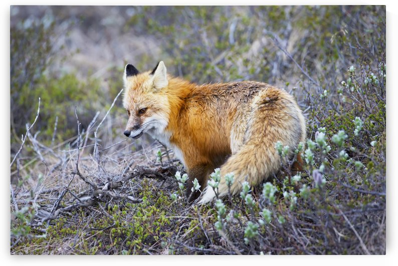 A fox in Denali National Park; Alaska, United States of America by PacificStock