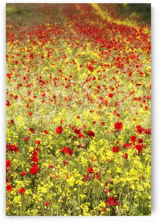 Abundance of red poppies in a field; Whitburn, Tyne and Wear, England by PacificStock