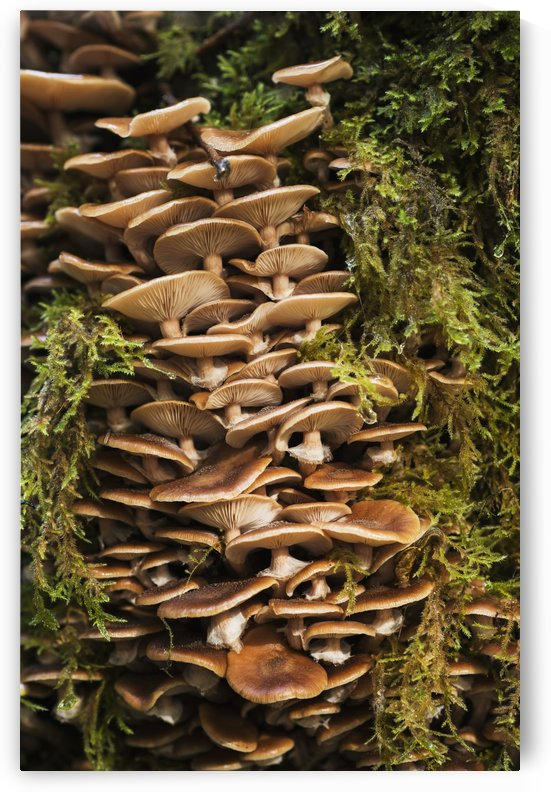 Mushrooms and moss grow in the forest; Ilwco, Washington, United States of America by PacificStock