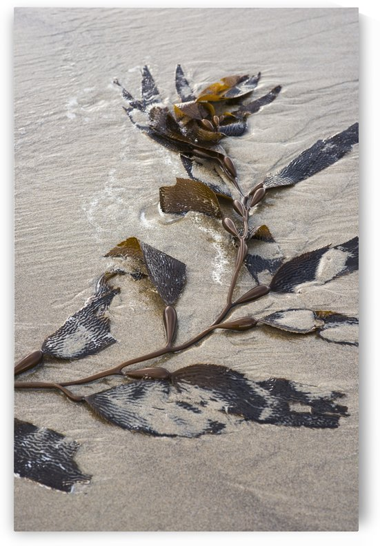 Giant kelp (Macrocystis pyrifera) washes up on the beach; Cannon Beach, Oregon, United States of America by PacificStock