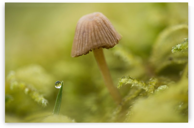 A tiny mushroom grows in the moss; Astoria, Oregon, United States of America by PacificStock