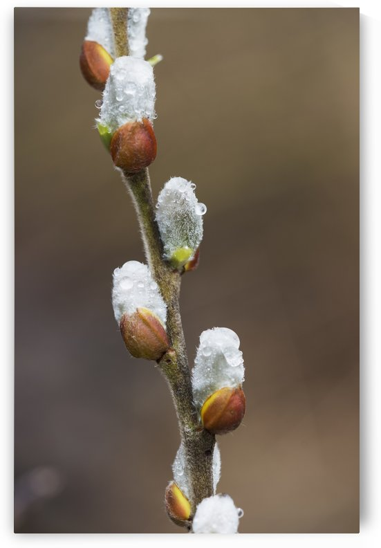 Fuzzy Willow catkins come out in the spring; Astoria, Oregon, United States of America by PacificStock