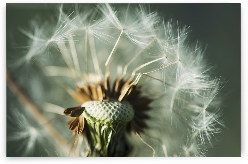 Dandelion seed head; Astoria, Oregon, United States of America by PacificStock