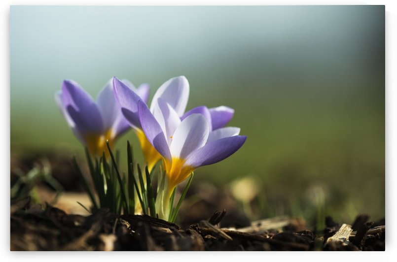 Crocuses in bloom in springtime; Astoria, Oregon, United States of America by PacificStock