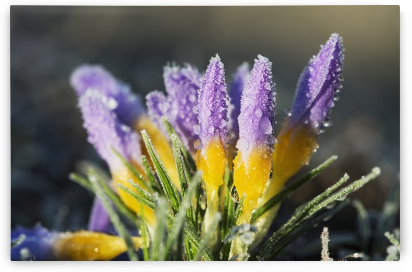 Frost forms on crocuses in the spring; Astoria, Oregon, United States of America by PacificStock