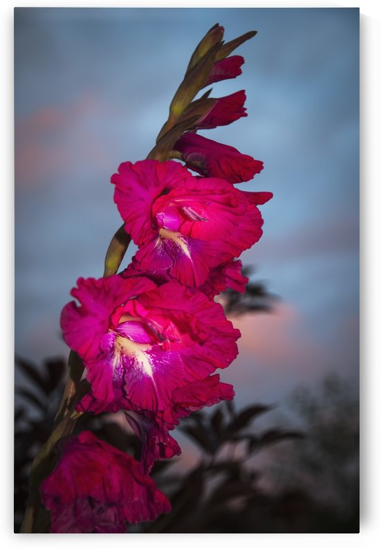 Gladiolus blooms in a garden at dusk; Astoria, Oregon, United States of America by PacificStock