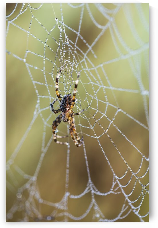 An Orb-Weaver spider rests on her web; Astoria, Oregon, United States of America by PacificStock