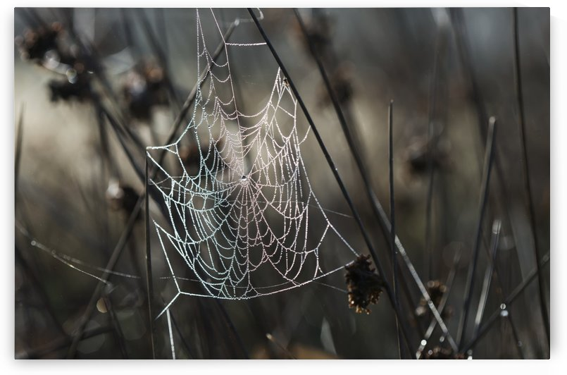 A spider's web collects dew on a summer morning; Astoria, Oregon, United States of America by PacificStock
