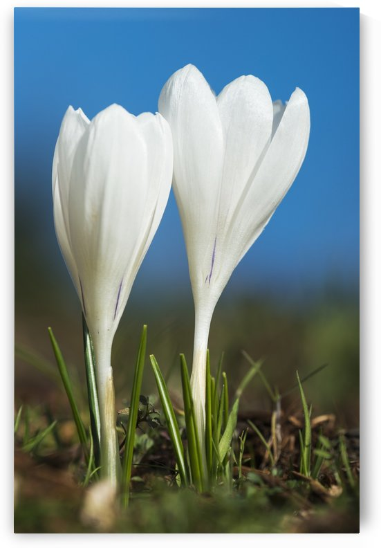 Crocuses bloom in springtime; Astoria, Oregon, United States of America by PacificStock