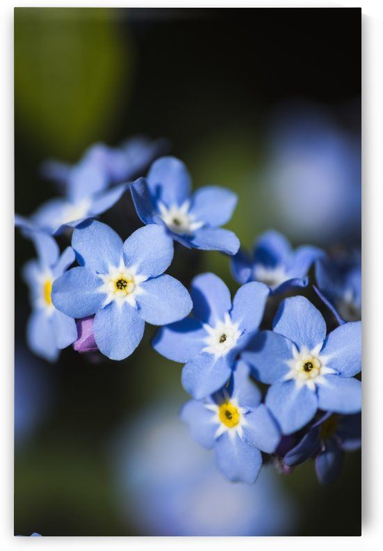 Forget-me-nots (Myosotis); Astoria, Oregon, United States of America by PacificStock