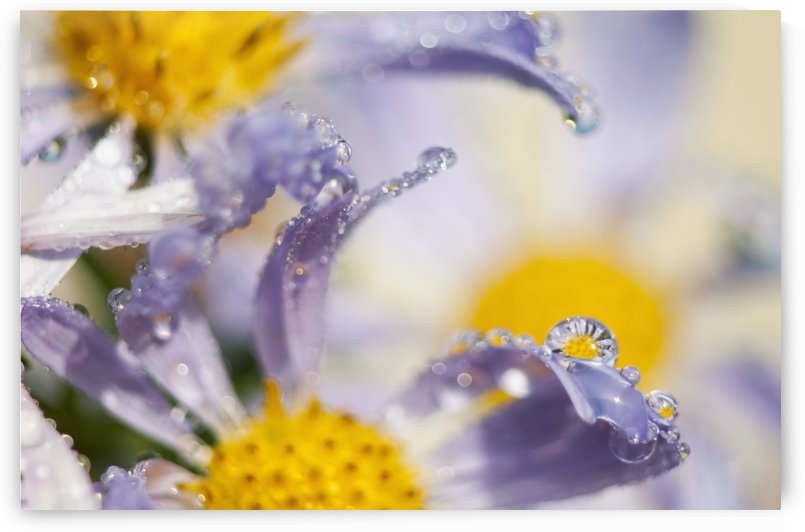 Dew drops balance on Aster blossoms; Astoria, Oregon, United States of America by PacificStock