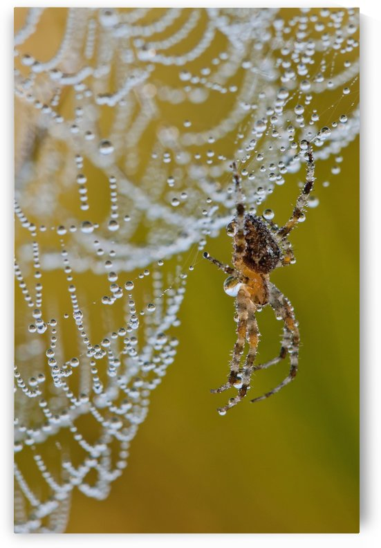 A spider tries to dry off; Astoria, Oregon, United States of America by PacificStock