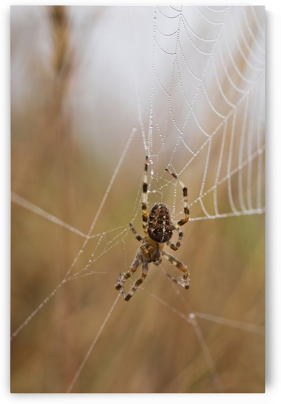A European Garden Spider waits in her web; Astoria, Oregon, United States of America by PacificStock