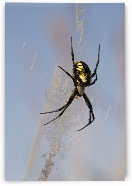 A black and yellow Argiope Spider guards her web; Astoria, Oregon, United States of America by PacificStock