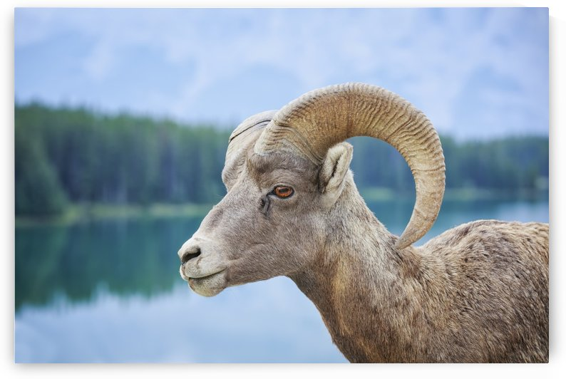 Bighorn Sheep (Ovis canadensis), Banff National Park; Alberta, Canada by PacificStock