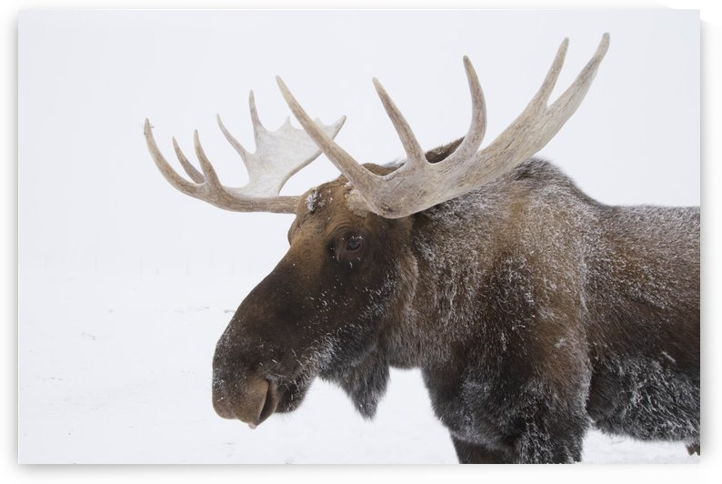 An elk (Cervus canadensis) with snow on it's fur by PacificStock