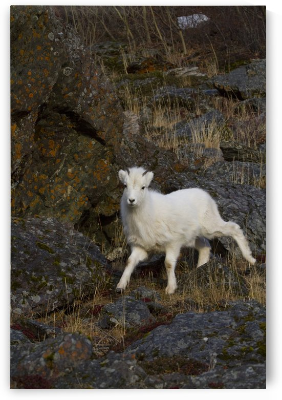 A young bighorn sheep (Ovis canadensis) standing among rocks and grass by PacificStock