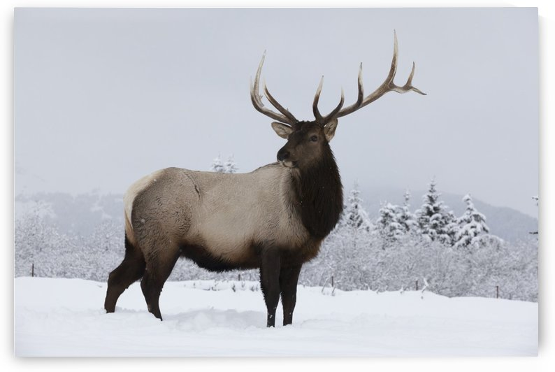 An elk (Cervus canadensis) standing in a field of snow with frozen trees in the background by PacificStock
