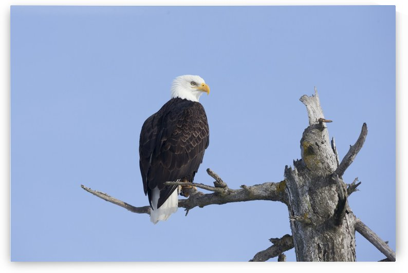 An eagle up on the top of a dead tree against a blue sky by PacificStock