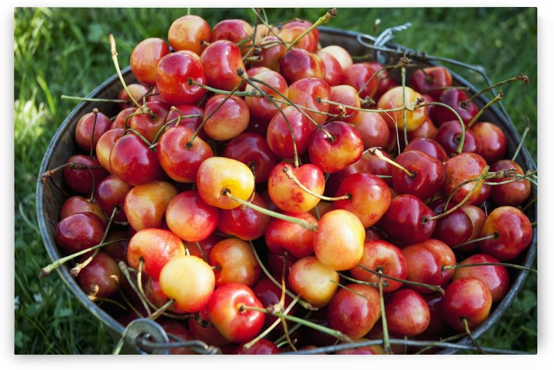 A bucket of ripe Ranier Cherries are freshly picked in the Okanagan; British Columbia, Canada by PacificStock