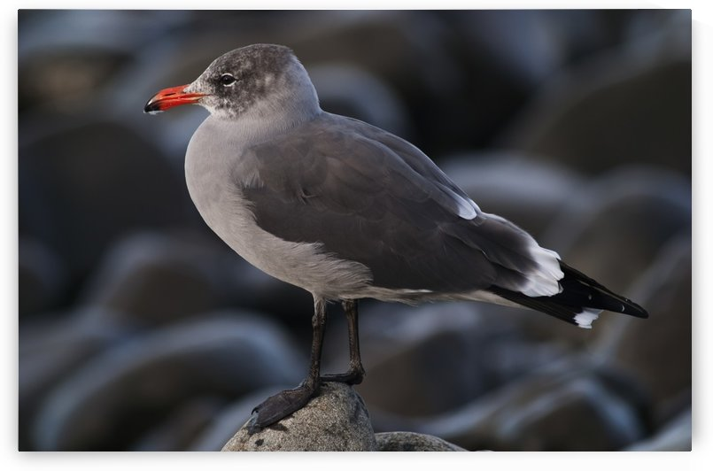 A Heermann's Gull (Larus heermanni) stands on a rock; Seaside, Oregon, United States of America by PacificStock