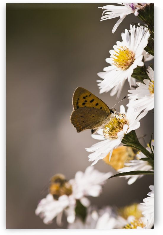 A Copper Butterfly visits Aster blossoms in a flower garden; Astoria, Oregon, United States of America by PacificStock