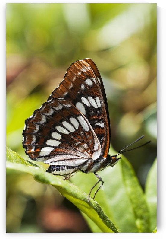 A White Admiral Butterfly (Limenitis arthemis) rests on a leaf; Astoria, Oregon, United States of America by PacificStock