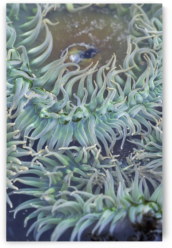 A green sea anemone; Oregon, United States of America by PacificStock