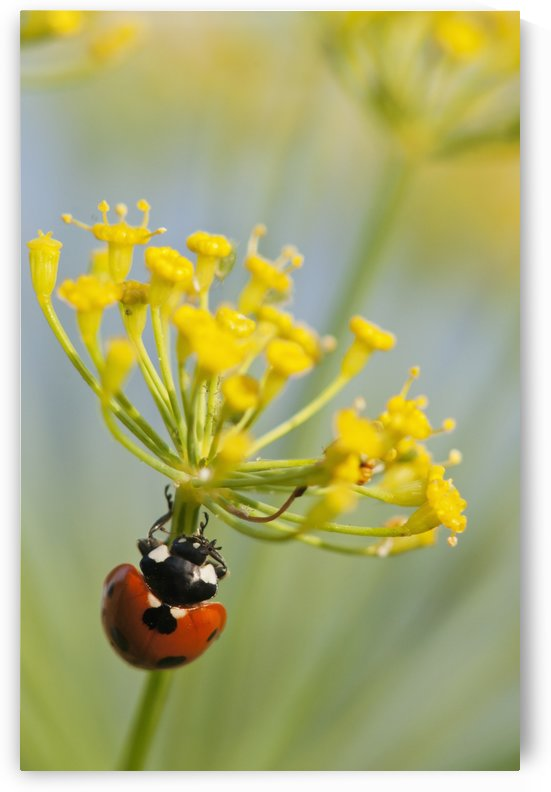 Ladybug on dill blossom; Astoria, Oregon, United States of America by PacificStock