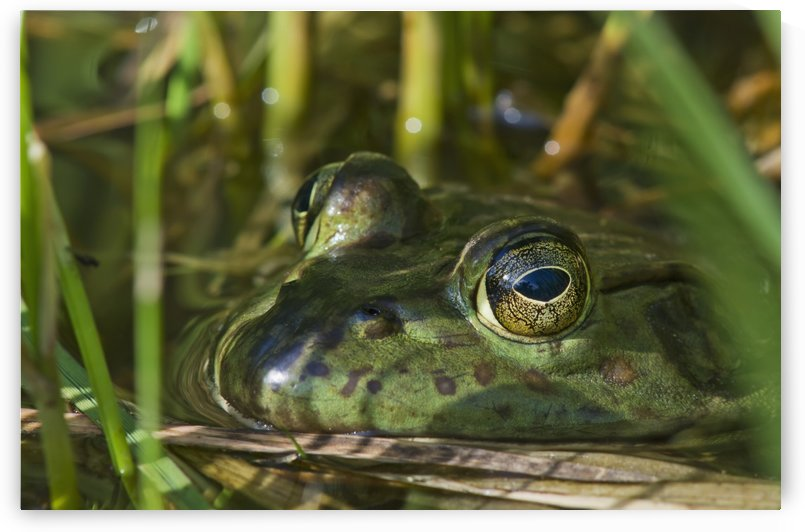 A bullfrog (Lithobates catesbeianus) rests in a pond; Astoria, Oregon, United States of America by PacificStock