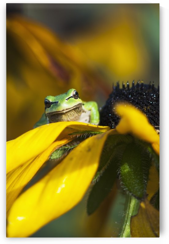 A Pacific Treefrog looks for flies on Black-eyed Susan blossoms; Astoria, Oregon, United States of America by PacificStock