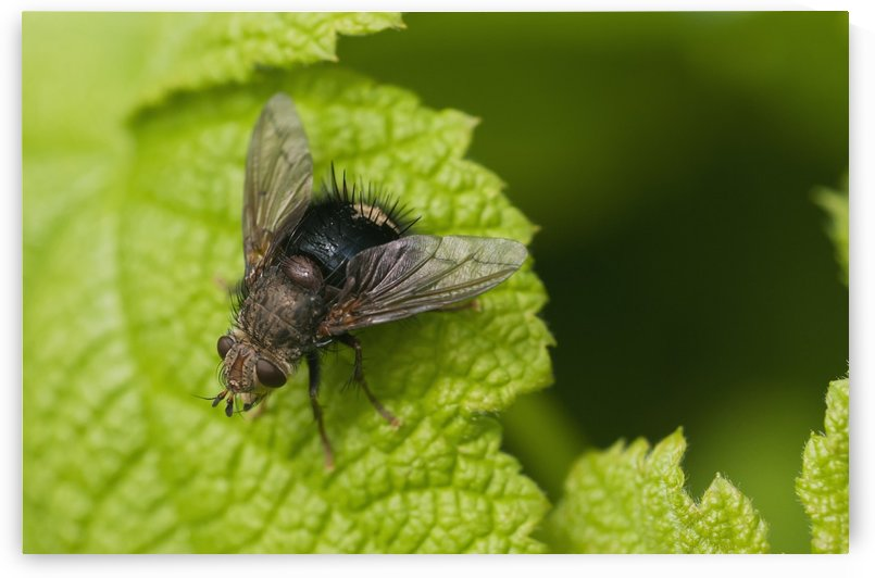 A fly rests on a leaf; Astoria, Oregon, United States of America by PacificStock