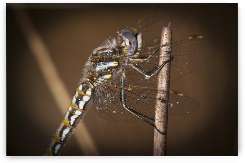 A dragonfly watches for prey; Astoria, Oregon, United States of America by PacificStock