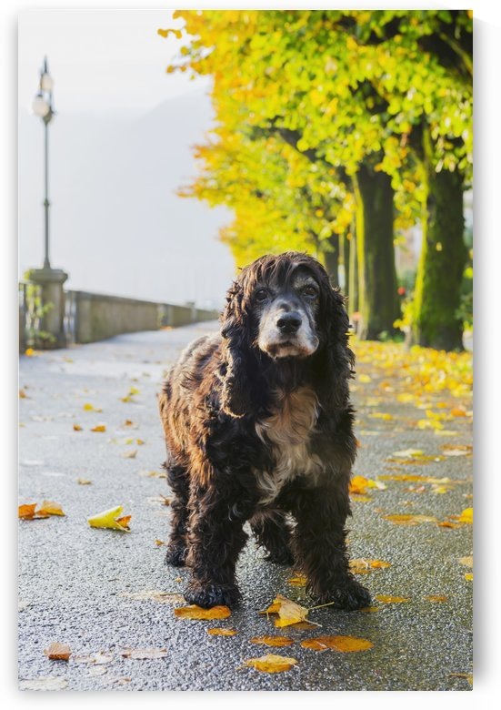 Portrait of a dog standing on a wet path in autumn; Locarno, Ticino, Switzerland by PacificStock