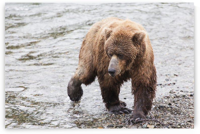 Grizzly bear (Ursus arctos) fishing for sockeye salmon at Brooks Falls in Katmai National Park & Preserve, Southwest Alaska; Alaska, United States of America by PacificStock