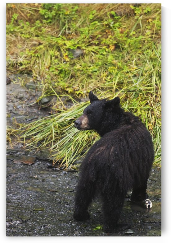 Black bear (Ursus americanus) feeding on pink salmon along Dayville Road; Valdez, Alaska, United States of America by PacificStock