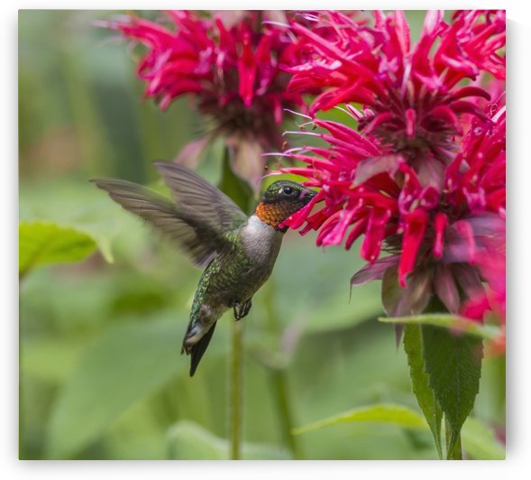 A hummingbird hovers by a bright pink blossoming flower; Ontario, Canada by PacificStock