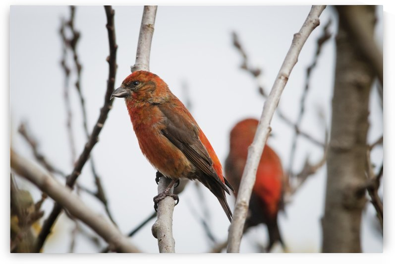 Red Crossbills perch in a willow; Astoria, Oregon, United States of America by PacificStock