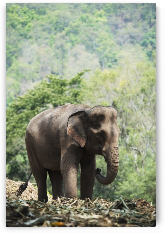 Baby elephant; Chiang Mai, Thailand by PacificStock