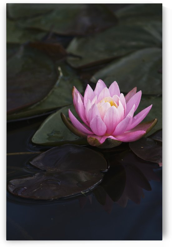 A water lily blooms in a pond; Astoria, Oregon, United States of America by PacificStock