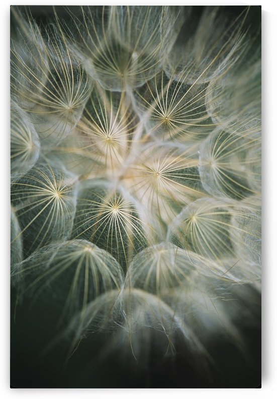 Salsify (Tragopogon) with it's showy seed head; Roanoke, Virginia, United States of America by PacificStock