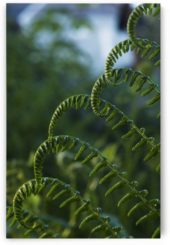 Lady fern grows in a swampy area; Astoria, Oregon, United States of America by PacificStock