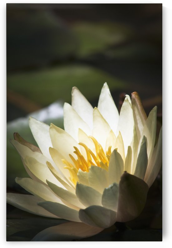 Water lily blooms in a pond; Astoria, Oregon, United States of America by PacificStock