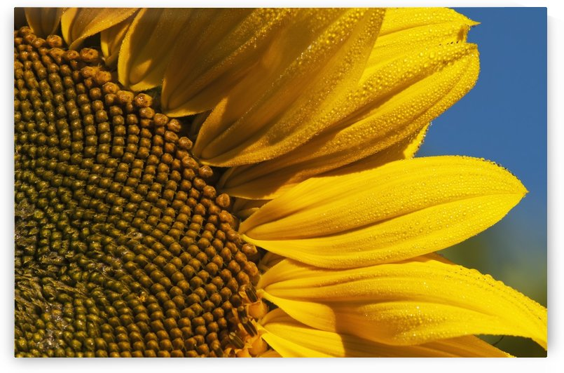 Sunflower blooms in a garden; Astoria, Oregon, United States of America by PacificStock