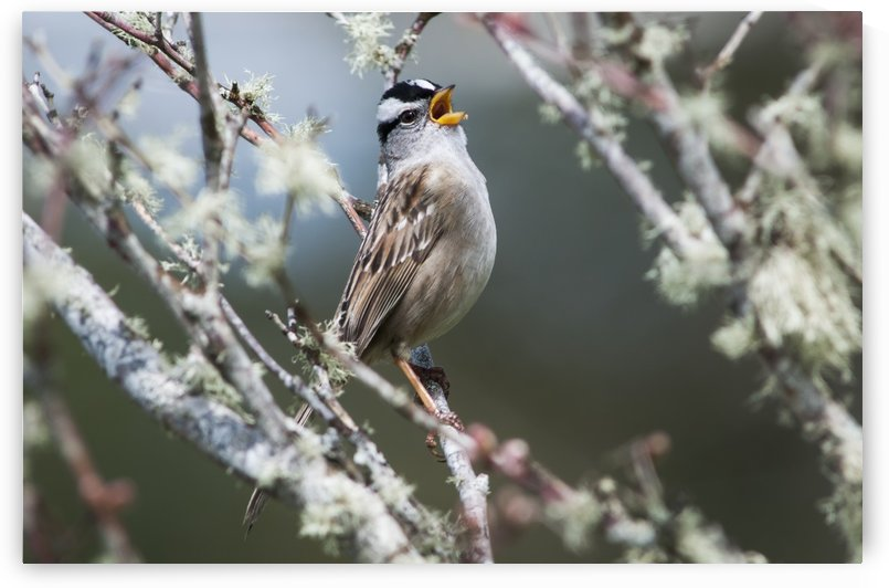 A White-crowned Sparrow (Zonotrichia leucophrys) sings; Astoria, Oregon, United States of America by PacificStock