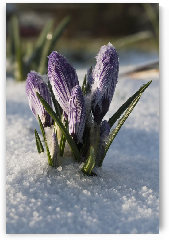 Crocus sprouts near the end of winter; Astoria, Oregon, United States of America by PacificStock