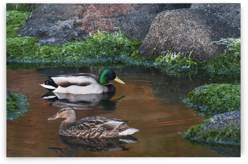 Mallards swim in a tide pool at Ecola State Park; Cannon Beach, Oregon, United States of America by PacificStock