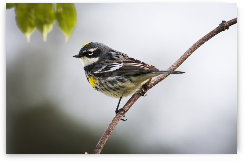 A male Yellow-rumped Warbler (Setophaga coronata) perches in a bush; Astoria, Oregon, United States of America by PacificStock