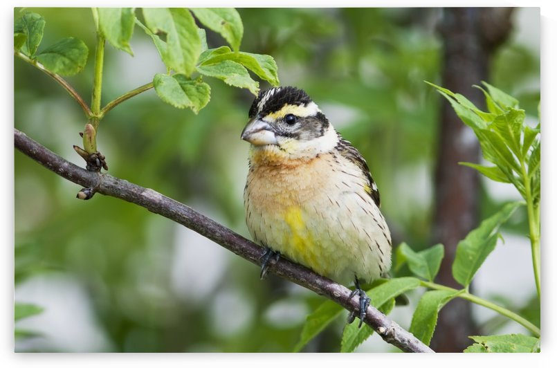 A female Black-headed Grosbeak (Pheucticus melanocephalus) perches in a bush; Astoria, Oregon, United States of America by PacificStock